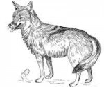 Why do Coyotes howl?