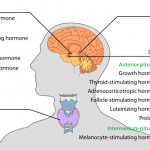 Why Are Hormones Important?