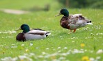 Why do ducks wag their tails?