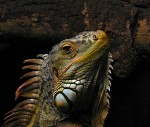 Why do iguanas have a third eye?
