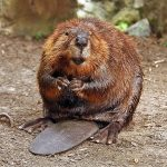 Why do beavers have orange teeth?