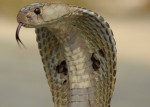 Why do cobras have hoods?