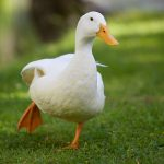 3 Reasons why you Shouldn't Feed Bread to Ducks