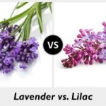 THE DIFFERENCE BETWEEN LAVENDER AND LILAC