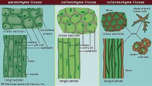 Difference Between Parenchyma, Collenchyma, and Sclerenchyma