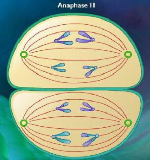 Difference between Anaphase 1 and 2-1