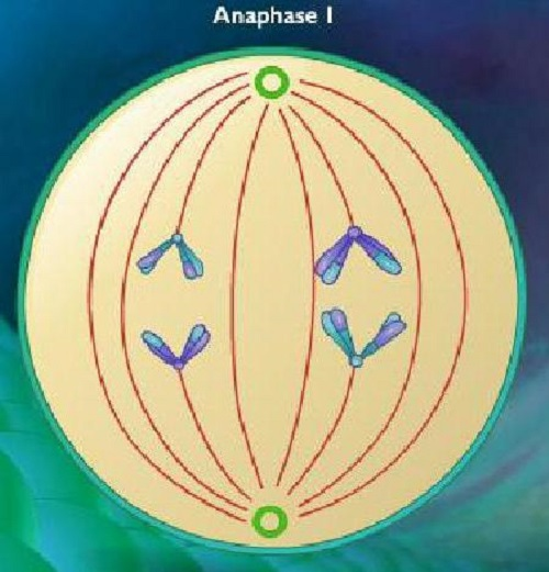 Difference between Anaphase 1 and 2