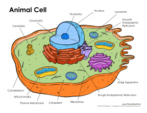 Difference between Bacterial Cell and Animal cell-1