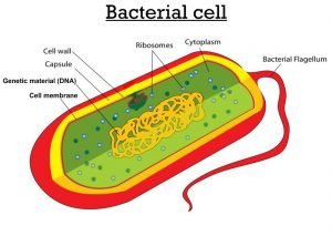 Difference between Bacterial Cell and Animal cell