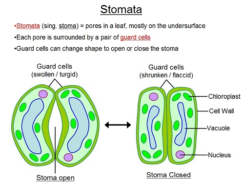 Difference between Stoma and Stomata-1
