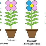 Bisexual plants definition