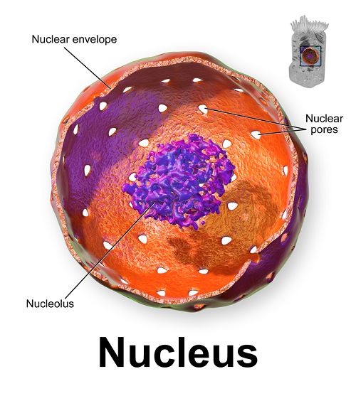 Difference between Cytoplasm and Nucleoplasm-1