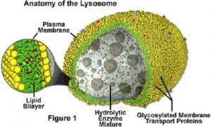 Difference between Lysosome and Ribosome-1
