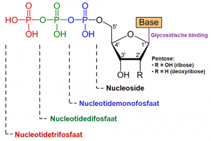 Difference between Nucleotides and Nucleosides-1
