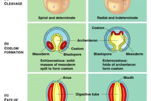 Difference between Protostomes and Deuterostomes