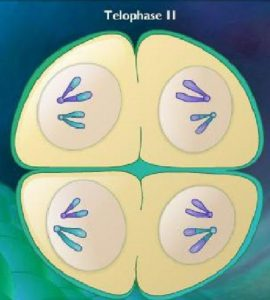 Difference between Telophase 1 and Telophase 2-1