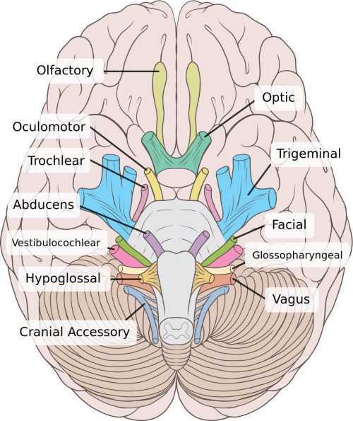 Difference between cranial and spinal nerves