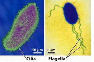 Difference between Cilia and Flagella