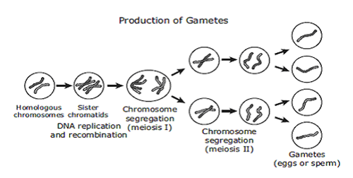 Difference between Somatic cells and Gametes-1