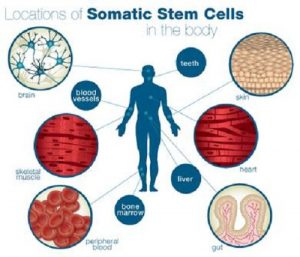 Difference between Somatic cells and Gametes