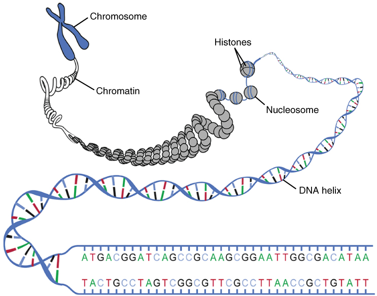 Difference Between Chromatin and Nucleosome
