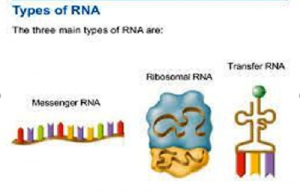 Difference Between mRNA, tRNA and rRNA