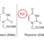 Difference between Uracil and Thymine