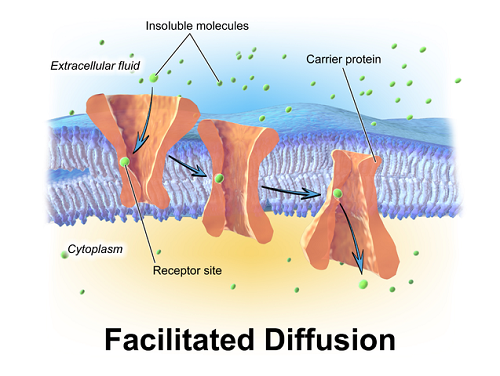 Similarities Between Active Transport and Facilitated Diffusion-1
