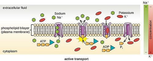 Similarities Between Active Transport and Facilitated Diffusion