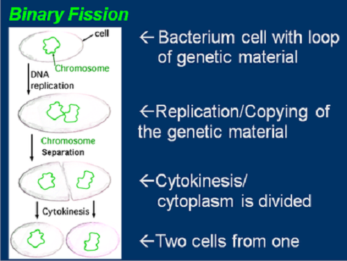 Similarities Between Binary Fission and Cell Division