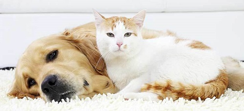 the similarities and differences between dogs and cats 11 ways big cats are just like domestic cats by erin  just like domestic cats,  had been diagnosed with skin cancer between 2014 and 2016 and found that.