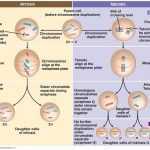 Similarities between Mitosis and Meiosis